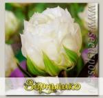 Тюльпан махровый поздний ICE AGE, 10 шт.