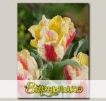 Тюльпан Грейга ZAMPA PARROT, 5 шт. NEW