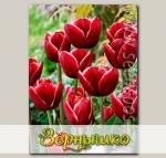 Тюльпан Триумф ARMANI, 8 шт.