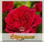 Роза Премиум ГРААЛЬ, 1 шт. NEW