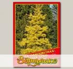 Пихта Одноцветная «Winter Gold», 5 шт.