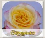 Роза чайно-гибридная МАФФИН, 1 шт. NEW