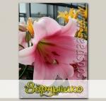 Лилия длинноцветковая BELLSONG, 2 шт.