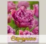Тюльпан бахромчатый MASCOTTE, 7 шт. NEW