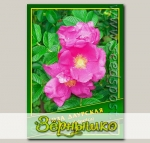 Роза Даурская, 0,5 г (? 30 шт.)