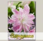 Лилия восточная махровая LOTUS ELEGANCE, 2 шт. NEW