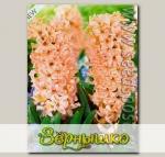 Гиацинт садовый ODYSSEUS, 5 шт.