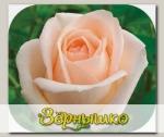 Роза чайно-гибридная ОСИАНА, 1 шт. NEW