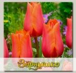 Тюльпан простой поздний TEMPLE OF BEAUTY, 5 шт. NEW