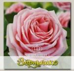 Роза Премиум ДОНА АННА, 1 шт. NEW