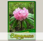 Рододендрон (Rhododendron glischrum), 0,02 г (? 40 шт.)
