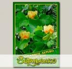 Тюльпанное дерево Китайское, 1 г (? 30 шт.)