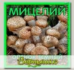 Мицелий зерновой Опенок Темный, 150 мл
