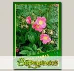 Роза Давида, 0,5 г (? 35 шт.)