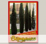 Кипарис Вечнозеленый Форма Пирамидальная, 0,2 г