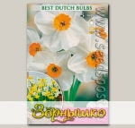 Нарцисс многоцветковый (Танацета) GERANIUM, 5 шт.