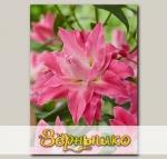 Лилия восточная махровая DREAMLINE, 2 шт. NEW