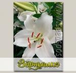 Лилия восточная PREMIUM BLOND, 2 шт.