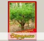 Сосна Густоцветная «Umbraculifera», 5 шт.