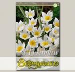 Тюльпан ботанический POLYCHROMA, 8 шт. NEW