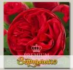 Роза Премиум АДАЖИО, 1 шт. NEW
