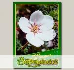 Роза Одноцветковая, 0,1 г (? 40 шт.)