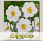 Нарцисс мелкокорончатый SAGANA, 3 шт. NEW