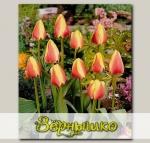 Тюльпан Грейга ORIENTAL SPLENDOUR, 7 шт. NEW