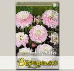 Георгин бордюрный декоративный MELODY HARMONY, 1 шт.