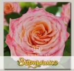 Роза Премиум ВЕНЕЦИЯ, 1 шт. NEW