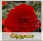 Бегония клубневая Нонстоп Ред, 100 шт. Профессиональная упаковка