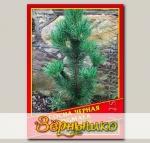 Сосна Черная «Pygmaea», 5 шт.