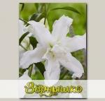 Лилия восточная махровая LOTUS BEAUTY, 2 шт. NEW
