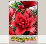 Лилия азиатская махровая CANARY WHARF, 2 шт.