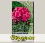 Цикламен персидский Концерто Роуз, 2 шт.