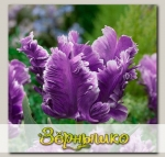 Тюльпан попугайный MYSTERIOUS PARROT, 5 шт. NEW