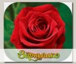 Роза чайно-гибридная ГРИЛЬЯЖ, 1 шт. NEW