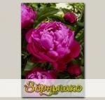 Пион травянистый RED SARAH BERNHARDT, 1 шт. NEW