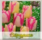 Тюльпан Триумф DEL-PIERO, 5 шт. NEW