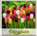 Тюльпан простой поздний МАЙСКИЕ ГИГАНТЫ СМЕСЬ, 5 шт.