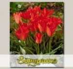 Тюльпан ботанический LINEFOLIA, 10 шт. NEW