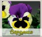 Виола крупноцветковая Колоссус Триколор, 100 шт. Профессиональная упаковка