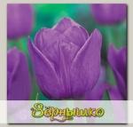 Тюльпан простой поздний VIOLET BEAUTY, 5 шт. NEW