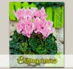 Цикламен мини Жанетта Светло-Розовая, 3 шт.