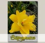 Лилия азиатская махровая YELLOW BELLIES, 2 шт.
