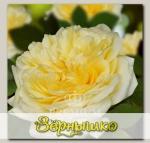 Роза Премиум ШАМПАНЬ, 1 шт. NEW