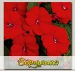 Бальзамин ново-гвинейский Дивайн Скарлет Ред, 100 шт. Профессиональная упаковка