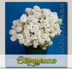 Иберис вечнозеленый Тахо, 250 шт. Профессиональная упаковка