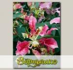 Лилия восточная махровая PINK PARROT CARIBA, 2 шт. NEW