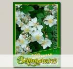 Роза Многоцветковая, 0,5 г (? 30 шт.)